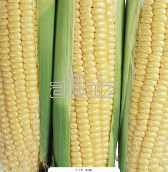 Vásárolni Kukorica