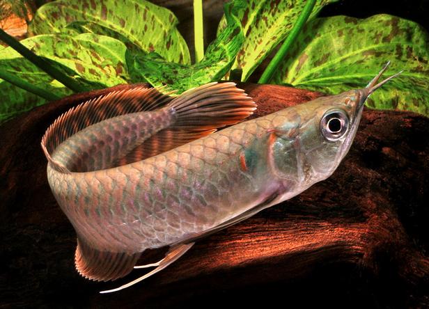 Vásárolni Arowana hal minden típus kapható