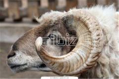Peaux de moutons