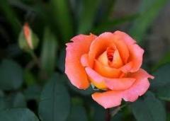 Rózsatő
