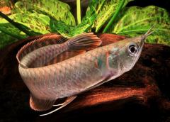 Arowana hal minden típus kapható
