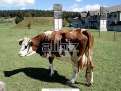 Tejelő tehén takarmányok
