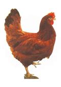 Tojáshibrid csirkék