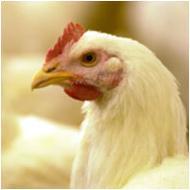 Húshibrid csirke