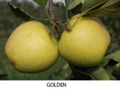 Golden alma